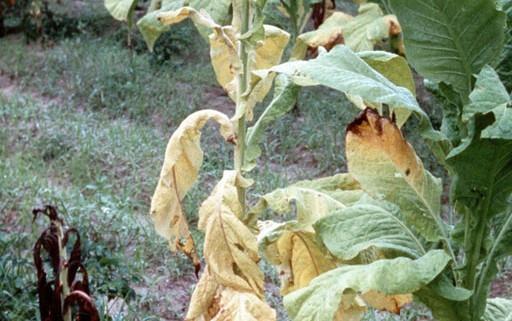 Fusarium Wilt on tabacco - wikipedia