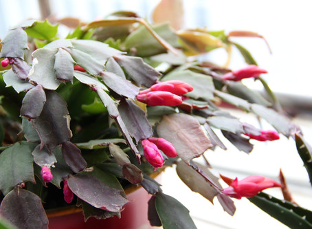 How To Make Your Christmas Cactus Bloom Again