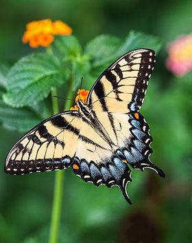 butterfly-tiger-swallowtail_139180.jpg