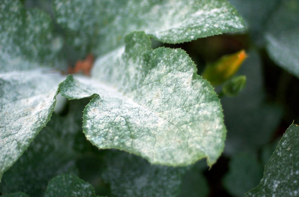 Photo: Powdery Mildew on pumpkin leaves