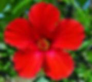 hibiscus_red.jpg