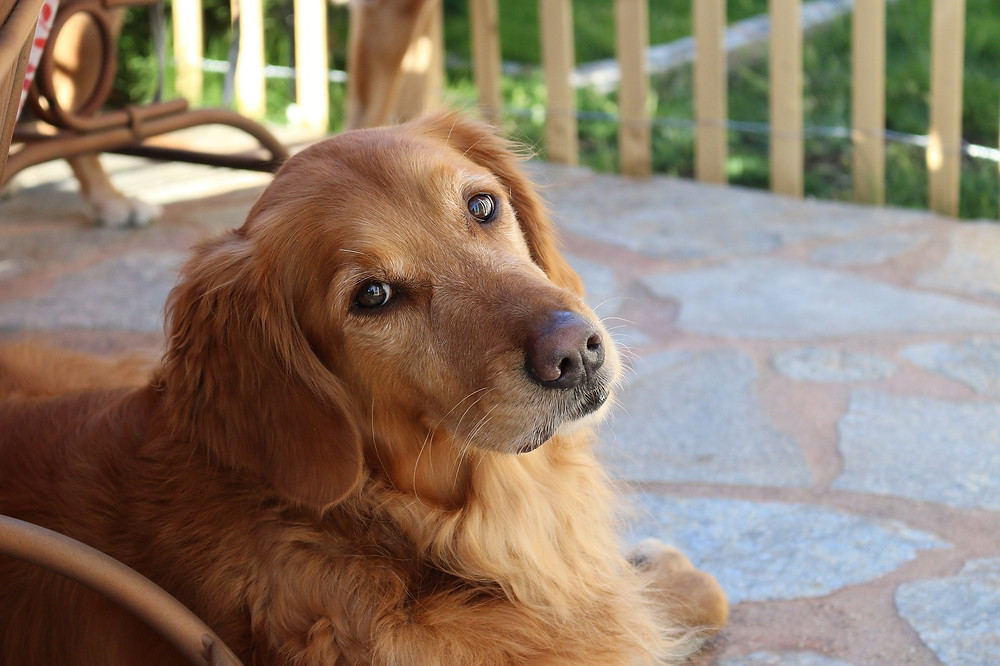 Golden Retriever on porch