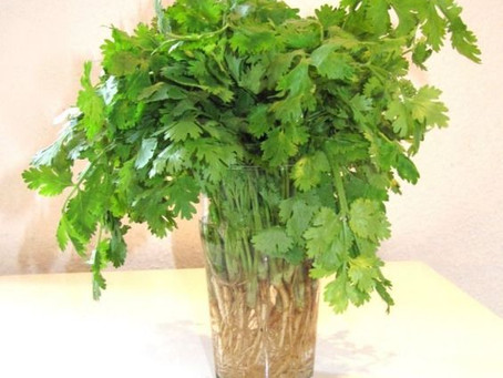 How to Grow Cilantro (Coriander)