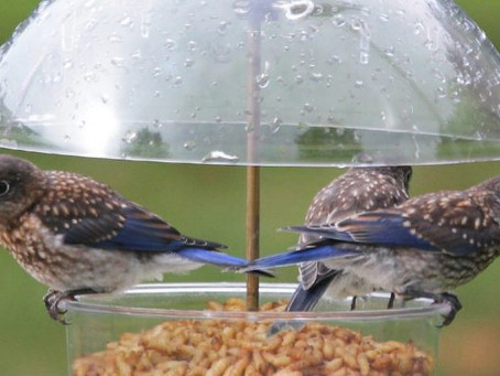 BACKYARD FEEDERS ENTERTAIN BIRDS & BIRD WATCHERS ALIKE