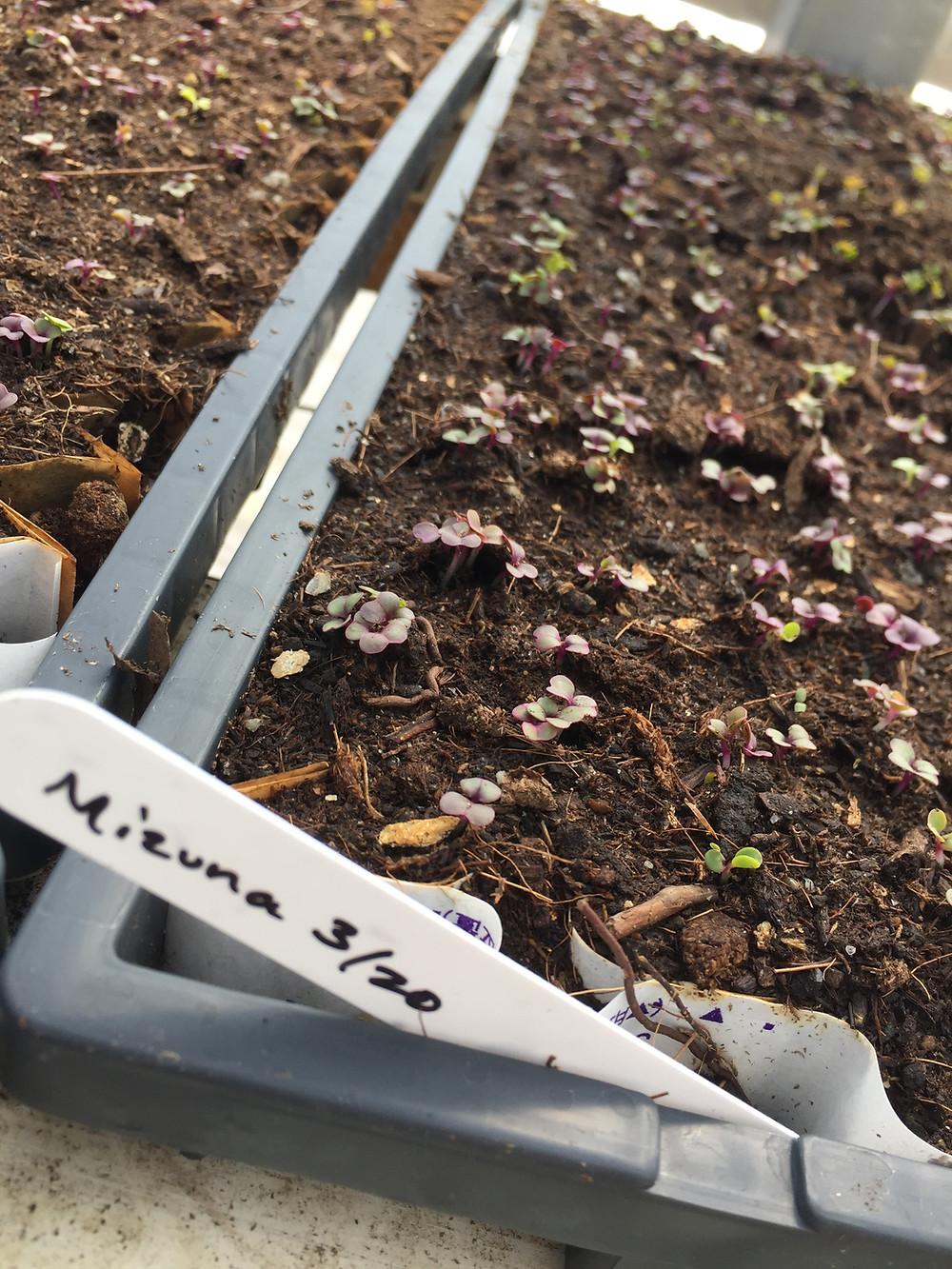 Mizuna Plan - Kilt Farm