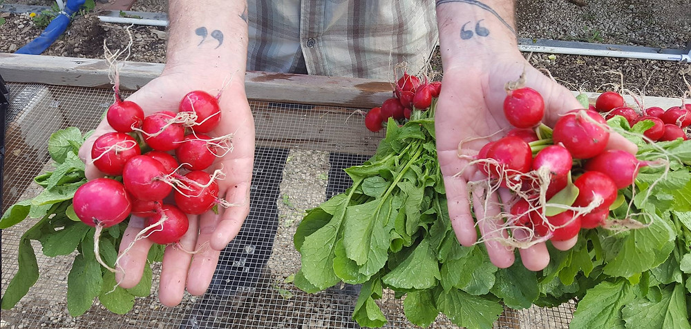 Delicious Radishes from Kilt Farm