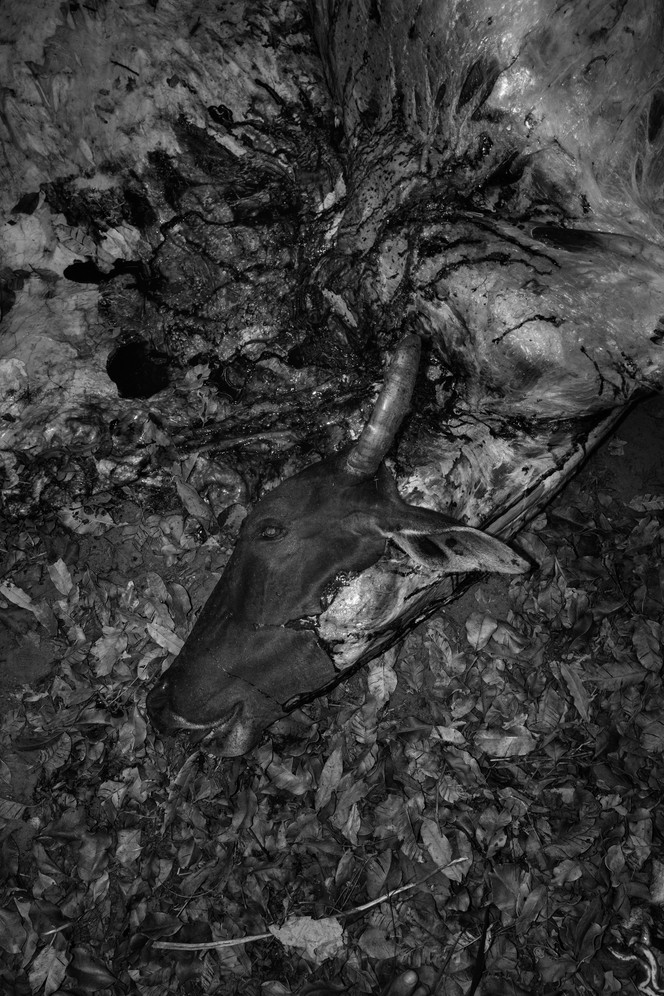 The remains of a cow on the Governador indigenous territory of the Gavião Pykopjê tribe, in Maranhão state. The indigenous bought the cow on credit from some local farmers to feed their village during a three day long traditional festival. Cattle rearing is also a leading cause of Amazon deforestation and experts estimate that as much as 80 per cent of deforested land becomes cattle pasture.