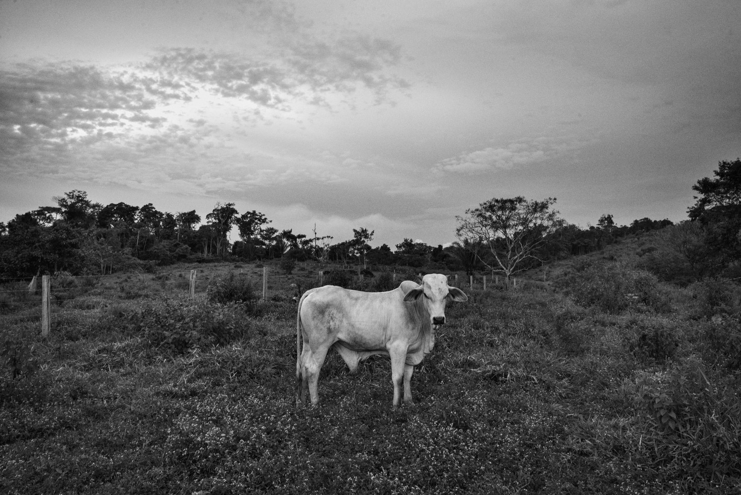 A cow grazes in Southwestern Pará state. In Brazil's Amazon states, the vast majority of deforested lands become cattle pasture. As global commodity prices fell, Brazil beef prices have held fairly steadily and cattle is seen as a safe bet for investors and speculators. Criminal gangs also plant cows on illegally occupied lands to pretend it is being used for farming before they sell it on the black market. Brazil is the world's largest beef exporter with Hong Kong, China and Russia the biggest buyers.