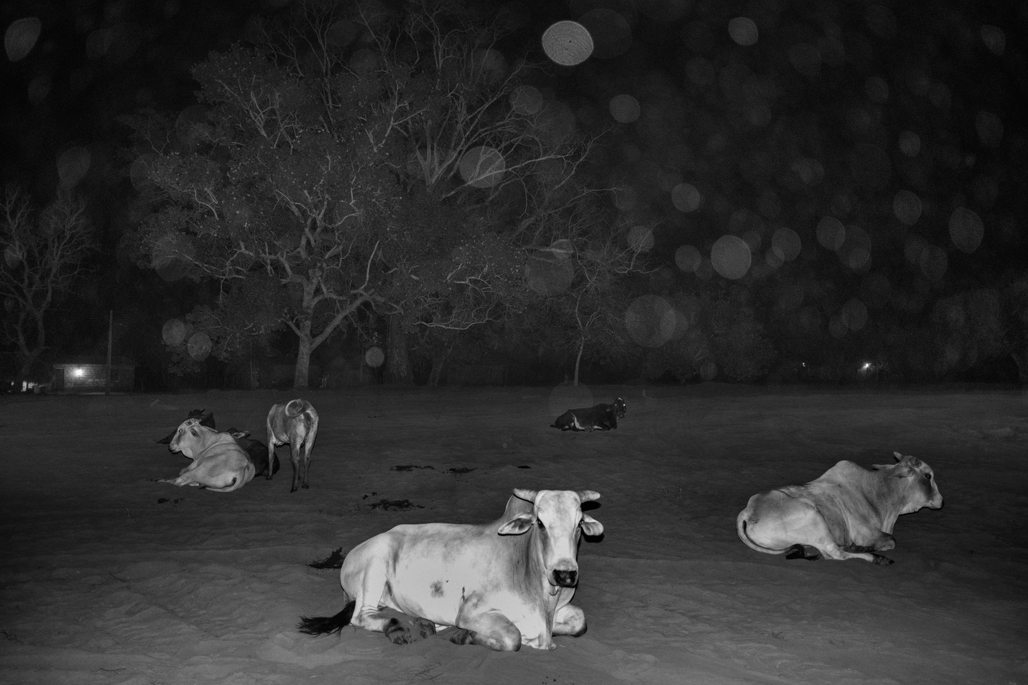 Cows at night in the Maranhao state. In Brazil's Amazon states, the vast majority of deforested lands become cattle pasture. As global commodity prices fell, Brazil beef prices have held fairly steadily and cattle is seen as a safe bet for investors and speculators. Criminal gangs also plant cows on illegally occupied lands to pretend it is being used for farming before they sell it on the black market. Brazil is the world's largest beef exporter with Hong Kong, China and Russia the biggest buyers.