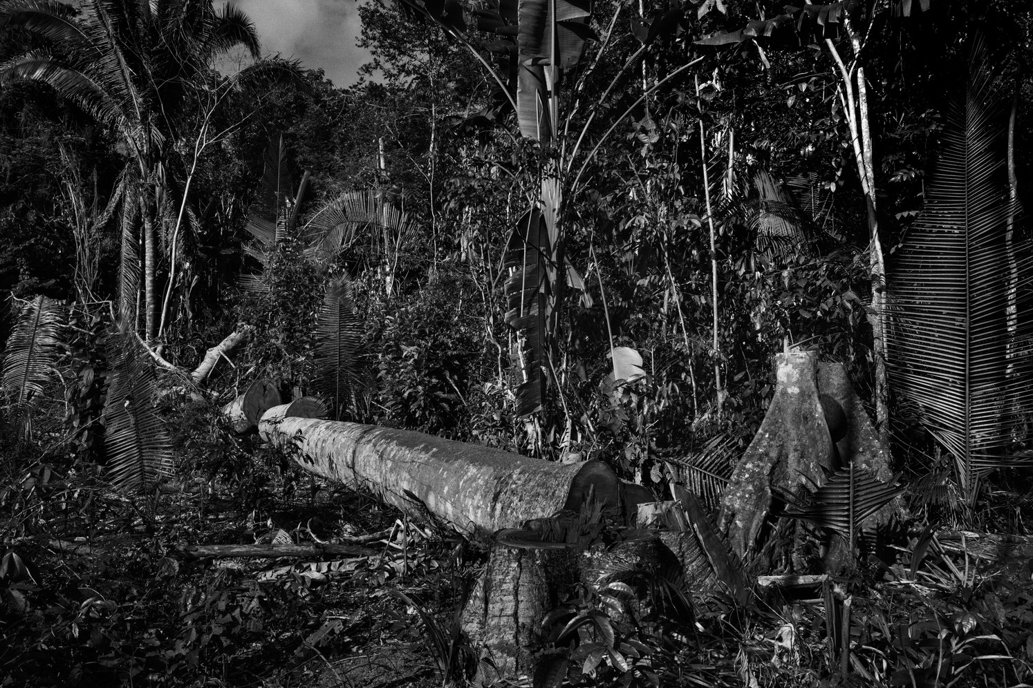 Toppled trees inside of landless peasant camp occupied by the Liga dos Camponeses Pobres – Poor Peasants League, or LCP – movement in Pau D'Arco, Pará state. The group fights for agrarian reform across Brazil's Amazon states where land ownership is extremely concentrated.