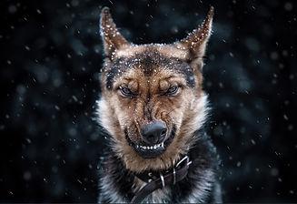 Snarling Dog.jpg