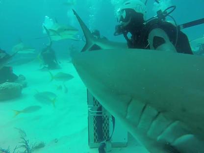 Bahama's Shark Dive