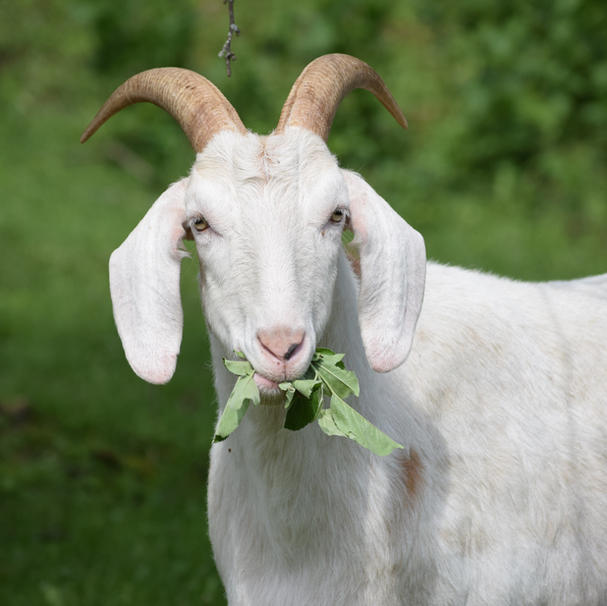 Goats are lousy swimmers.