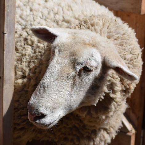 Sheepdog | Rescued: 2017