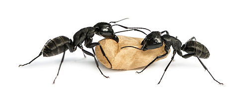 Carpenter Ant BHI shutterstock_250363072