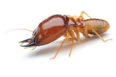 Termite BHI shutterstock_303633596.jpg
