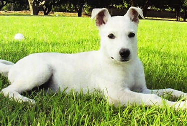 carolina-dog-in-grass.jpg
