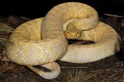 22-Eastern Diamondback Rattlesnake(albin