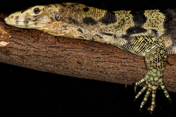 3-Asian Water Monitor