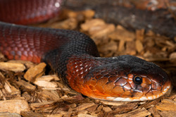 15-Red Spitting Cobra