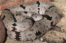 25-Banded Rock Rattlesnake