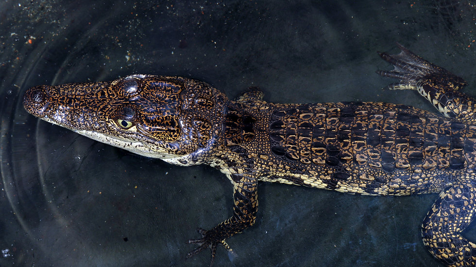 Crocodilian Sponsorship 3