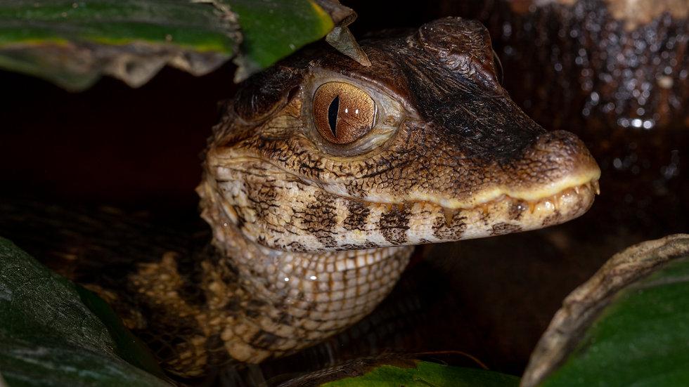 Crocodilian Sponsorship 2