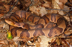 26b-Eastern Copperhead