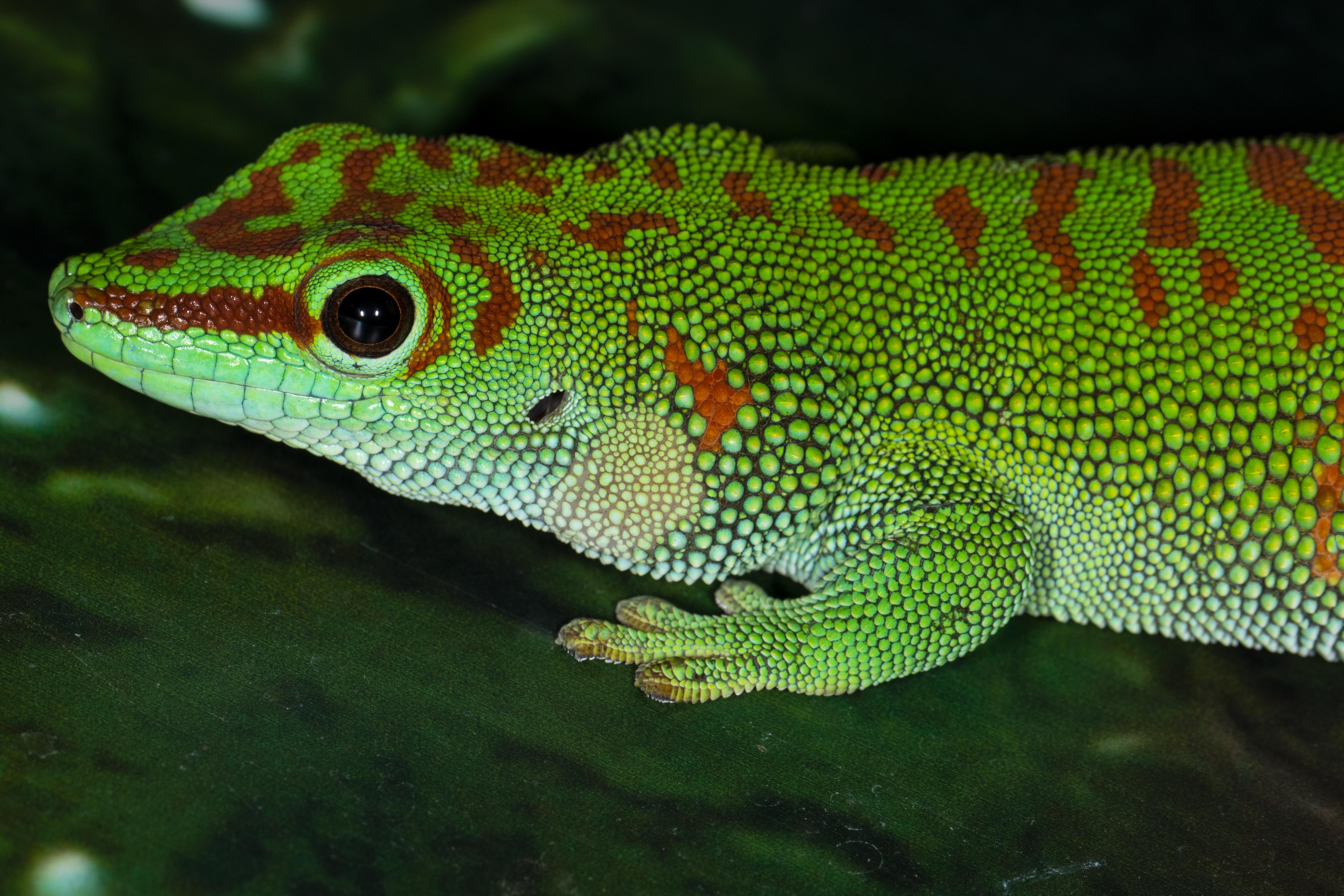 6-Madagascar Day Gecko