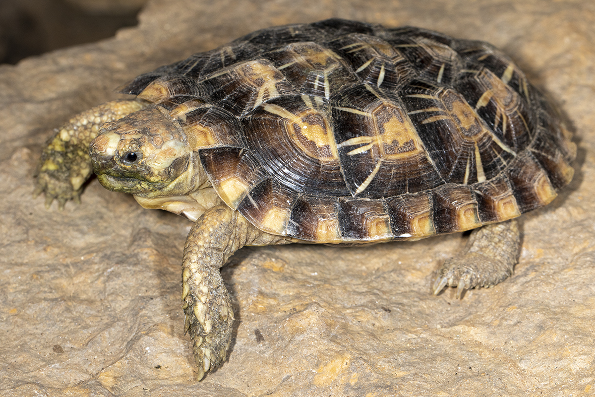 11-Pancake Tortoise