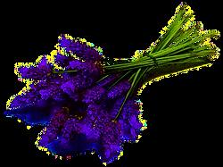 Lavender-1_0.png