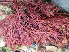 gigartina-seaweed-morocco-1200x900.jpg