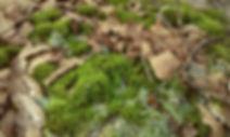 MossesLeaves.jpg