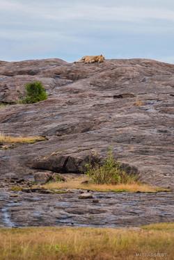 Lion on a copje i Moru kopjes area.