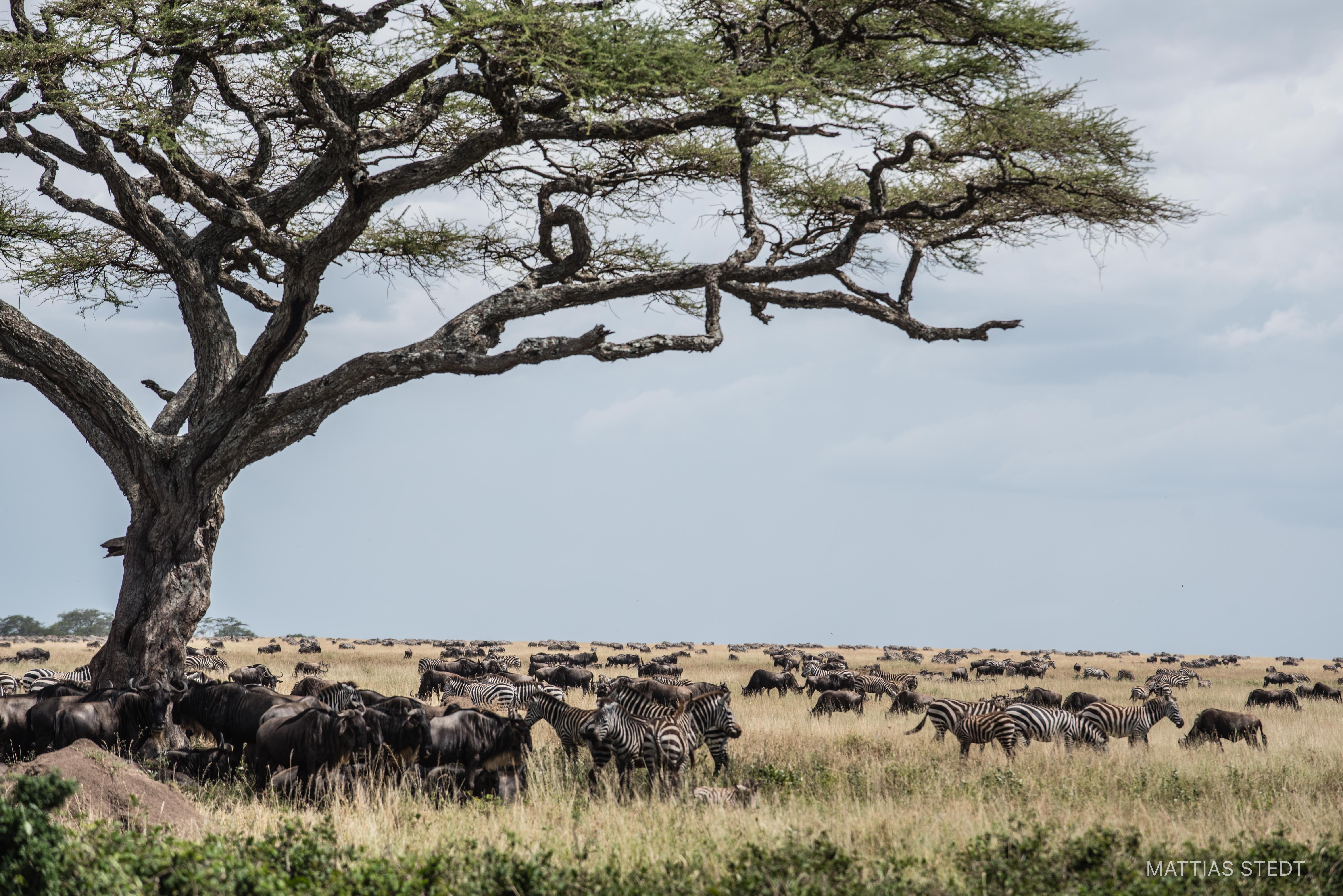 Migration, Serengeti Tanzania