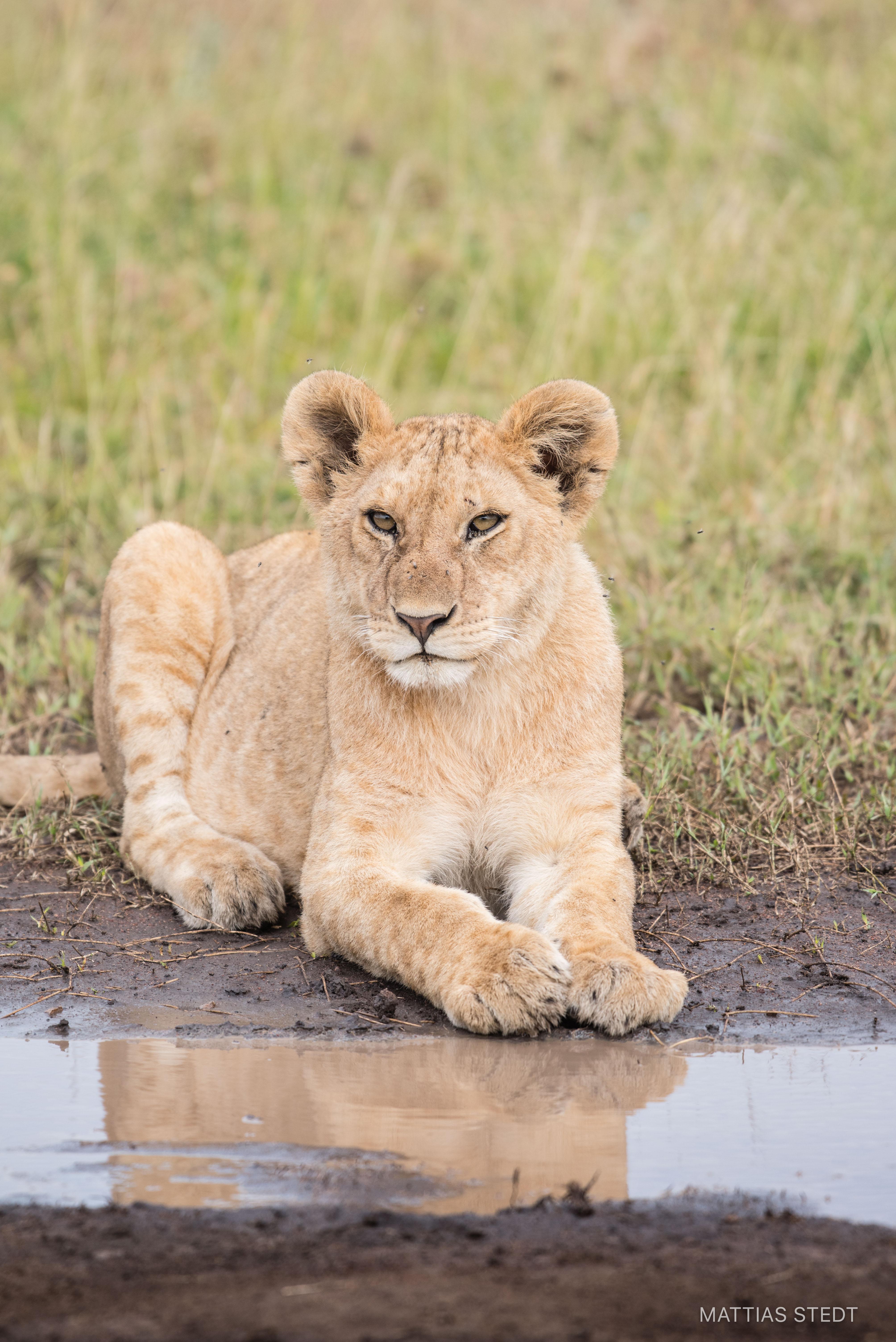 Lion cab, Serengeti Tanzania
