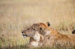 Lion Serengeti, Tanzania