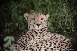 Cheetah, Serengeti Tanzania