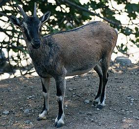 Kri - Kri Goat