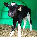 calf_0.jpg
