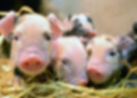GV-Piglets.jpg