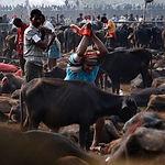 Gadhimai-festival.jpg