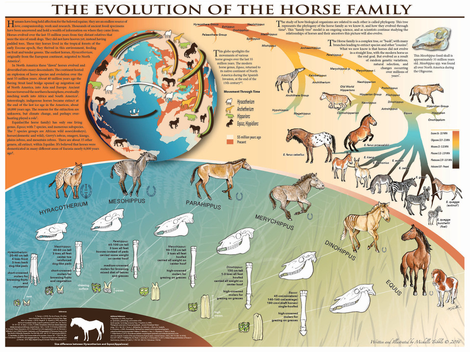 The Evolution of the Horse Family