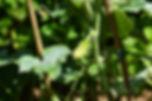 Pickling Cuke 1.jpg