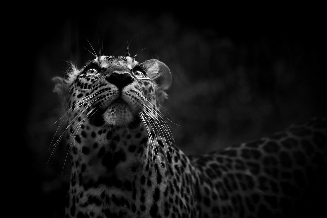 Leopard, Photography, NHFU, William Steel