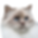 birman-lilac-tortie-point.png
