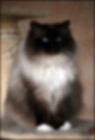 chats-Sacre-de-Birmanie-cb9d2605-7595-77