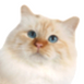 birman-red-point.png