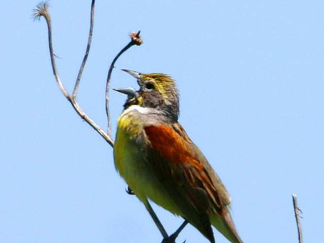 IBCP releases new publication on grassland birds and climate change