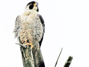 IBCP shares raptor research and grant opportunity at the 12th Peruvian Ornithology Congress